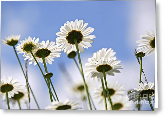 White Petals Greeting Cards - White daisies Greeting Card by Elena Elisseeva