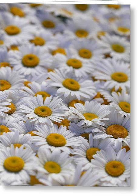Compositae Greeting Cards - White Daisy Flowers Greeting Card by David Nunuk