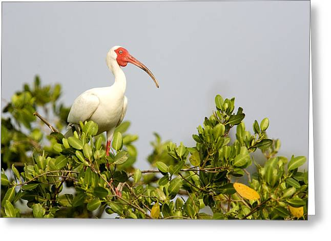 Mangrove Trees Greeting Cards - White Ibis Endocimus Albus Portrait Greeting Card by Tim Laman