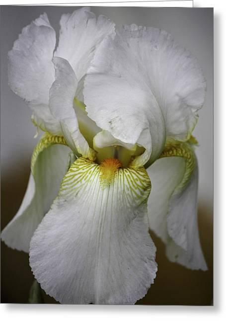 Ruffled Petals Greeting Cards - White Iris Greeting Card by Teresa Mucha