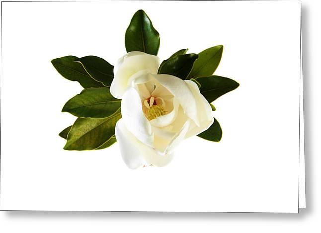 Plant Framed Prints Greeting Cards - White Magnolia Flower And Leaves Isolated On White  Greeting Card by Michael Ledray
