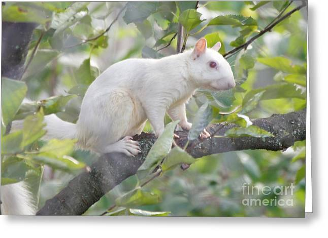 Reflections Of Infinity Greeting Cards - White Squirrel Greeting Card by Robert E Alter Reflections of Infinity
