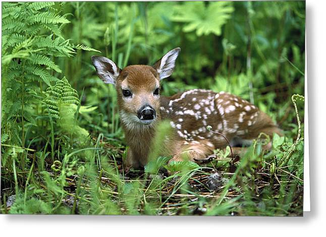 Animals and Earth - Greeting Cards - White-tailed Deer Odocoileus Greeting Card by Konrad Wothe