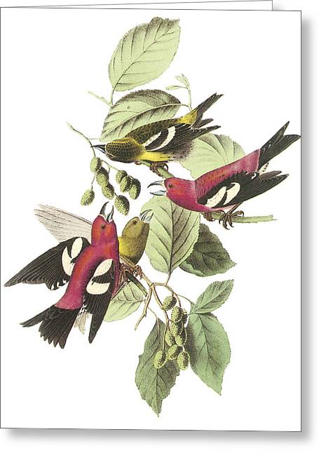 White-winged Crossbill Greeting Card by John James Audubon
