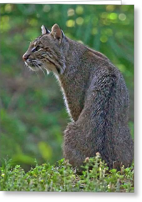 Bobcats Greeting Cards - Wild Bobcat Greeting Card by Larry Linton