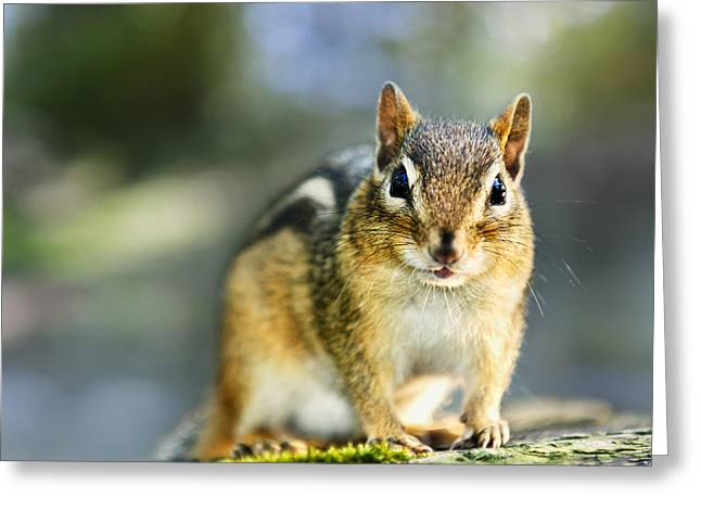 Rodents Greeting Cards - Wild chipmunk Greeting Card by Elena Elisseeva