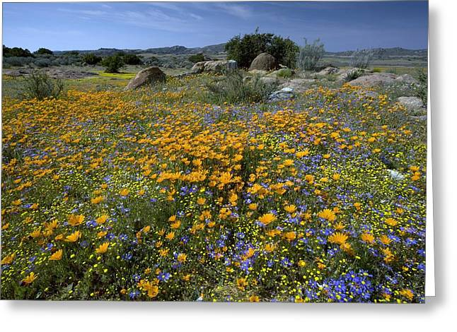 Wildflowers In South Africa Greeting Card by Bob Gibbons