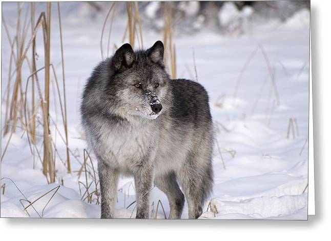 Canadian Prairies Greeting Cards - Wolf In The Snow Greeting Card by Philippe Widling