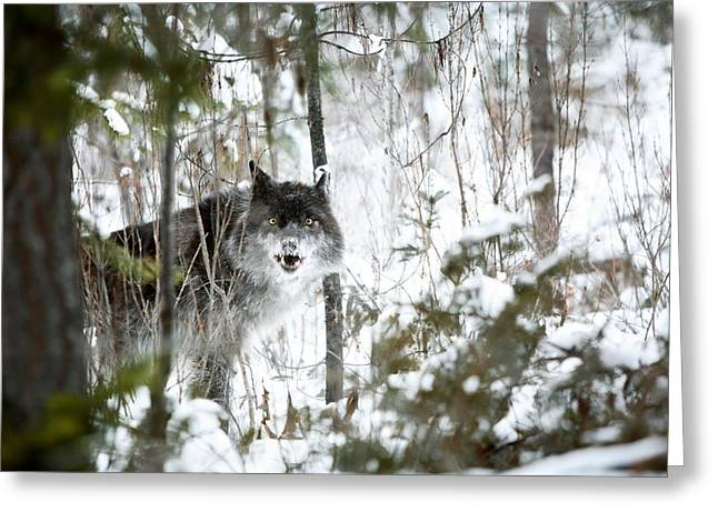 Dog In The Snow Greeting Cards - Wolf In The Snow Greeting Card by Richard Wear