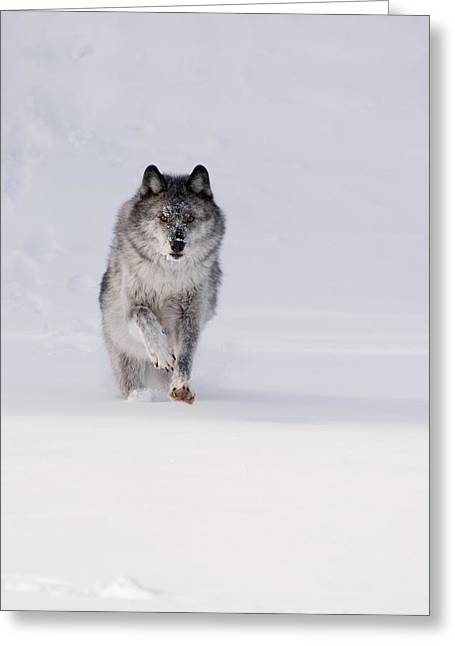 Wolves In Nature Greeting Cards - Wolf Running In The Snow Greeting Card by Philippe Widling