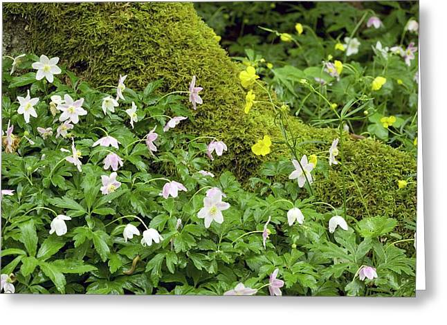 Wood Anemones (anemone Nemorosa) Greeting Card by Bob Gibbons