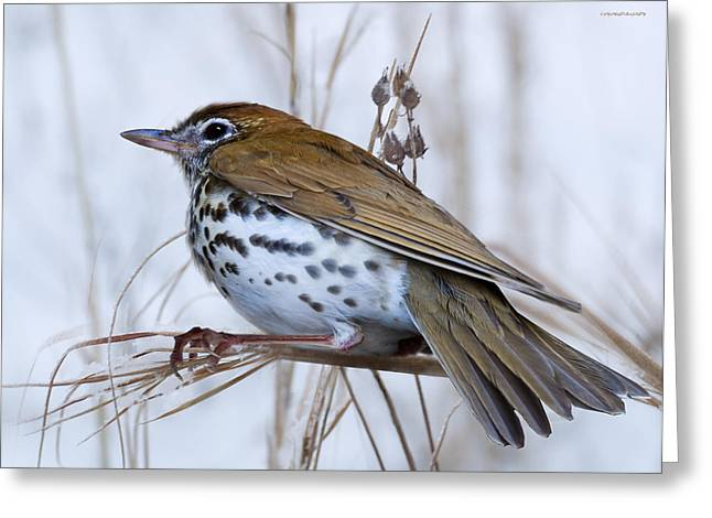 Ron Woods Greeting Cards - Wood Thrush Greeting Card by Ron Jones