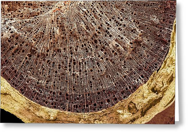 Coloured Bark Greeting Cards - Woody Stem Section, Sem Greeting Card by Steve Gschmeissner