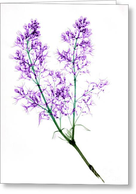 Oleaceae Greeting Cards - X-ray Of Blooming Lilac Greeting Card by Ted Kinsman