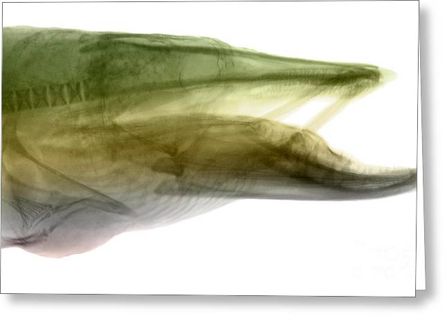 Muskellunge Greeting Cards - X-ray Of Muskie Greeting Card by Ted Kinsman