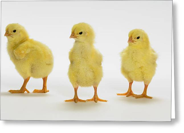 Three Chicks Greeting Cards - Yellow Chicks. Baby Chickens Greeting Card by Thomas Kitchin & Victoria Hurst