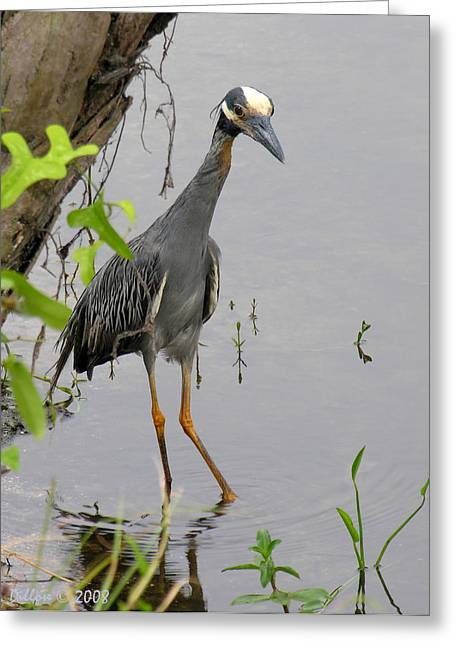 St. Lucie River Greeting Cards - Yellow Crowned Night Heron Greeting Card by Grace Dillon