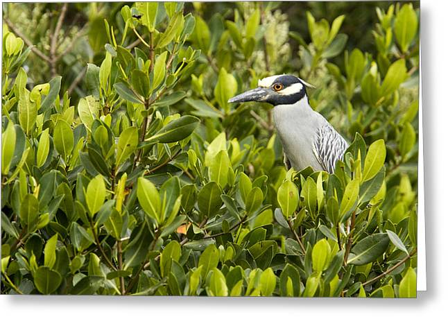 Mangrove Trees Greeting Cards - Yellow-crowned Night Heron Nyctanassa Greeting Card by Tim Laman