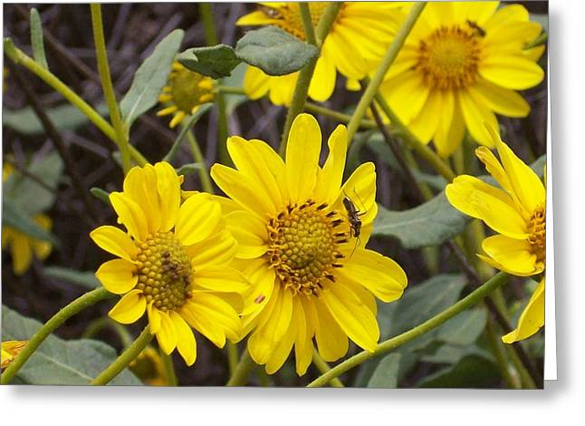 Steve Huang Greeting Cards - Yellow Daisy Greeting Card by Steve Huang