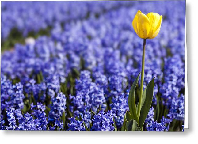 Best Sellers -  - Spring Bulbs Greeting Cards - Yellow Tulip in Hyacinths Field Greeting Card by Andre Goncalves