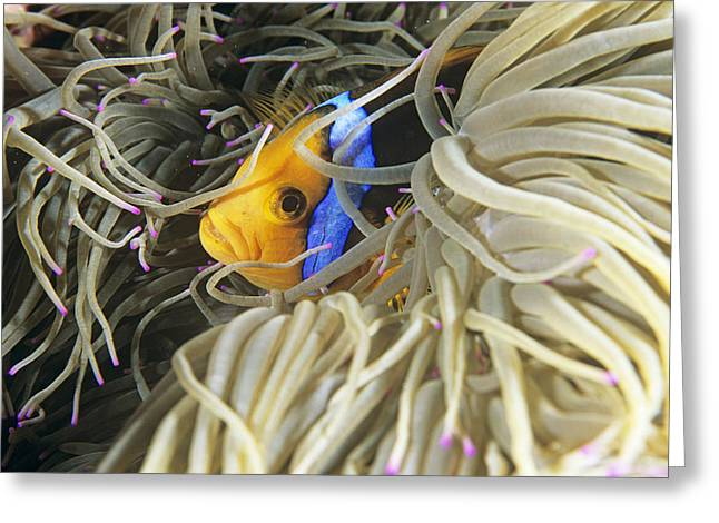 Yellowtail Greeting Cards - Yellowtail Anemonefish In Its Anemone Greeting Card by Alexis Rosenfeld