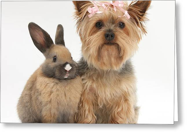 House Pet Greeting Cards - Yorkshire Terrier And Young Rabbit Greeting Card by Mark Taylor