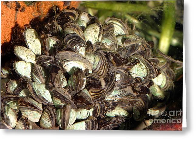 Invasive Species Greeting Cards - Zebra Mussels Dreissena Polymorpha Greeting Card by Ted Kinsman