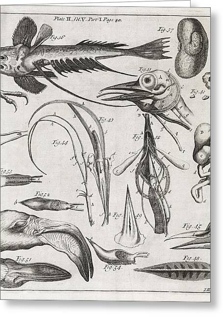 Transactions Greeting Cards - Zoological Illustrations, 18th Century Greeting Card by Middle Temple Library