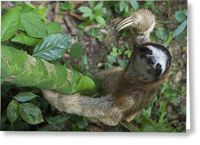 Sloth Greeting Cards - Brown-throated Three-toed Sloth Greeting Card by Suzi Eszterhas