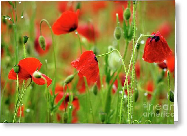 Droplet Greeting Cards - Field of poppies. Greeting Card by Bernard Jaubert