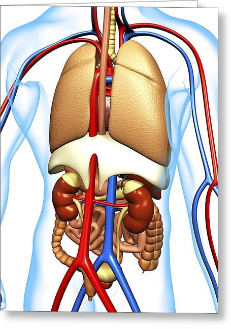 Falciform Ligament Greeting Cards - Human Anatomy, Artwork Greeting Card by Pasieka