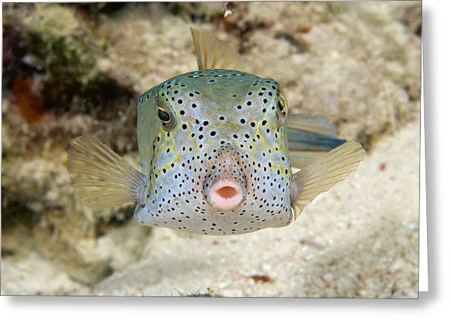 Pucker Greeting Cards - Malaysia, Marine Life Greeting Card by Dave Fleetham - Printscapes