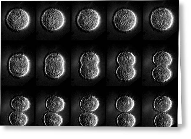 Mitosis Greeting Cards - Mitosis Greeting Card by Dr Paul Andrews, University Of Dundee
