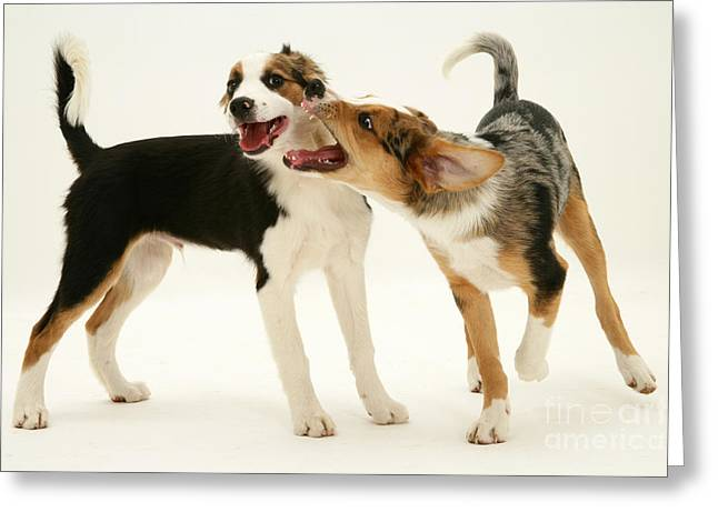 Dog At Play Greeting Cards - Border Collies Greeting Card by Jane Burton