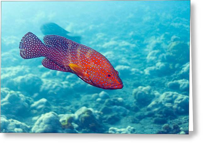 Reef Fish Greeting Cards - Coral Hind Grouper Greeting Card by Georgette Douwma