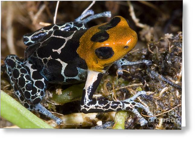 Crowned Head Greeting Cards - Crowned Poison Frog Greeting Card by Dante Fenolio
