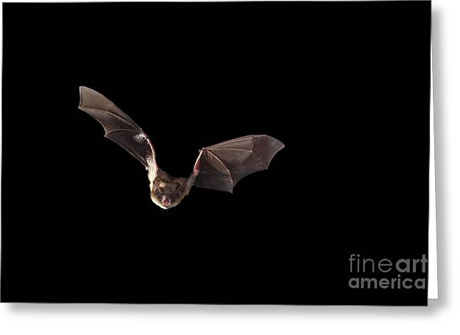 Mammalia Greeting Cards - Little Brown Bat Greeting Card by Ted Kinsman