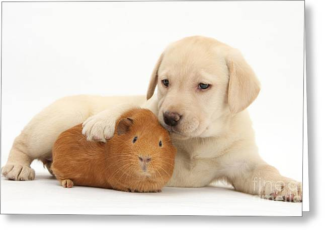 Mixed Labrador Retriever Greeting Cards - Puppy And Guinea Pig Greeting Card by Mark Taylor
