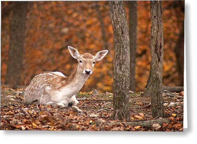 1111-7638 Fawn In Fall Greeting Card by Randy Forrester