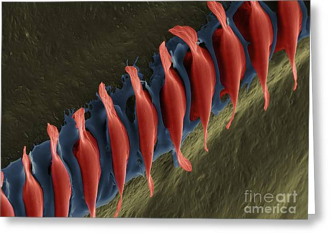 Cricket Field Greeting Cards - Cricket Sound Comb, Sem Greeting Card by Ted Kinsman