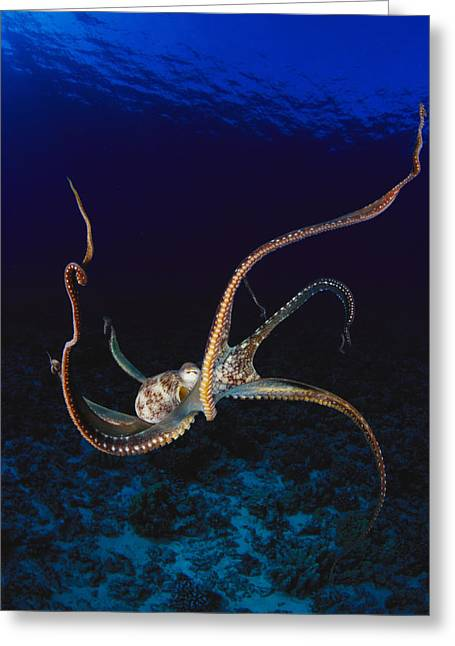 Jet-propelled Greeting Cards - Hawaii, Day Octopus Greeting Card by Dave Fleetham - Printscapes