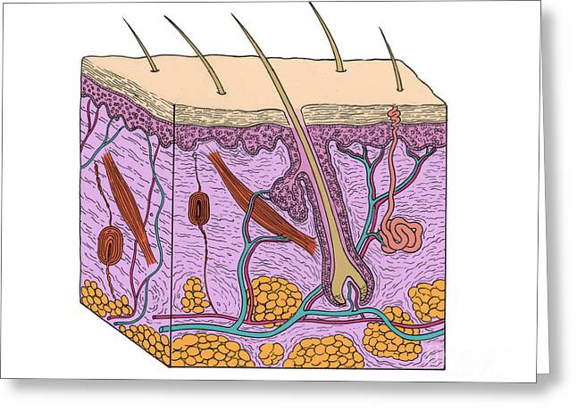 Illustration Of Skin Section Greeting Card by Science Source