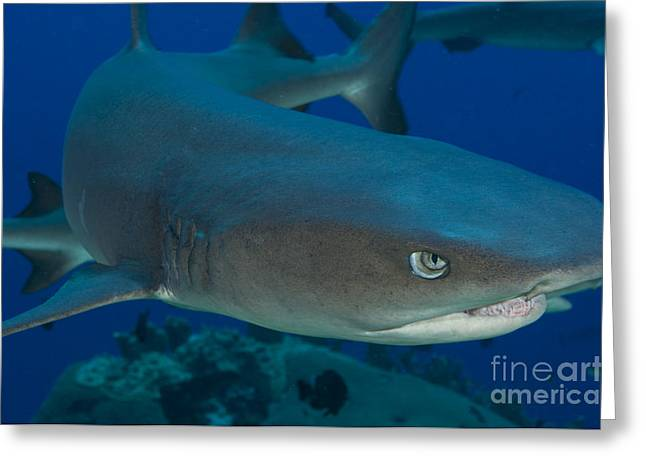 Elasmobranch Greeting Cards - Whitetip Reef Shark, Kimbe Bay, Papua Greeting Card by Steve Jones