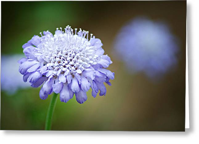1205-8794 Butterfly Blue Pincushion Flower Greeting Card by Randy Forrester