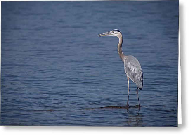 Arkansas Greeting Cards - 1206-9280 Great Blue Heron 1 Greeting Card by Randy Forrester