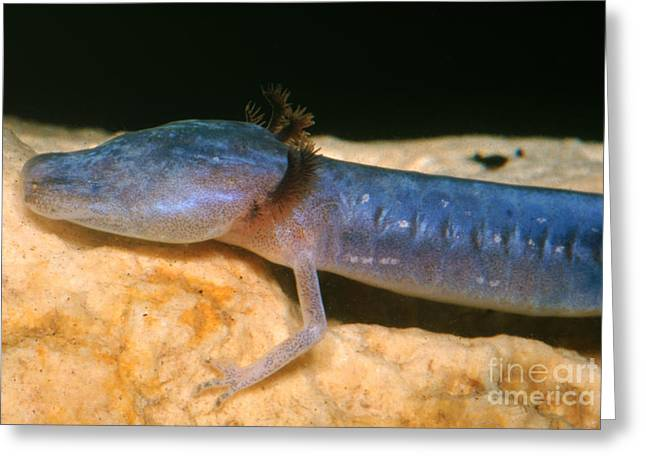Cave Salamander Greeting Cards - Austin Blind Salamander Greeting Card by Dante Fenolio