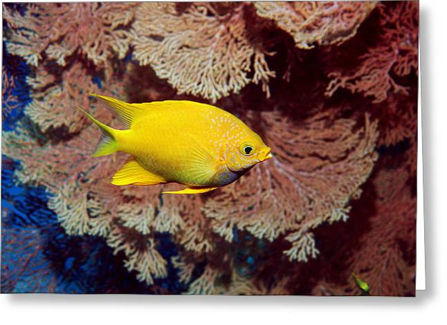 Damselfish Greeting Cards - Golden Damselfish Greeting Card by Georgette Douwma