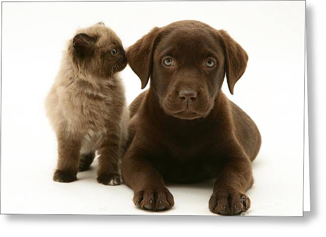 Chocolate Lab Greeting Cards - Kitten And Puppy Greeting Card by Jane Burton