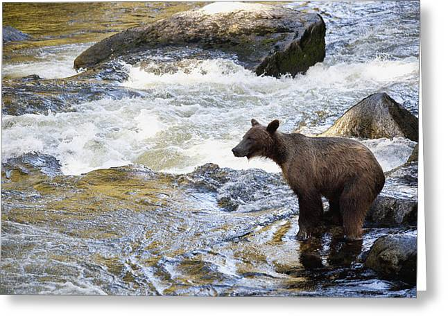 Fishing Creek Greeting Cards - Grizzly Bear Ursus Arctos Horribilis Greeting Card by Matthias Breiter