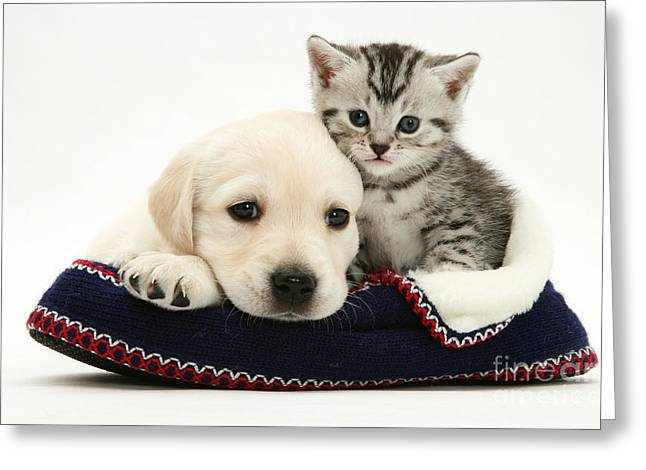 Recently Sold -  - Mixed Labrador Retriever Greeting Cards - Kitten And Pup Greeting Card by Jane Burton